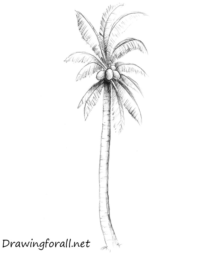 Line Drawing Palm Tree : How to draw a palm tree drawingforall