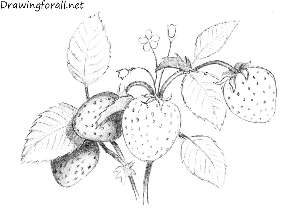 berry drawing