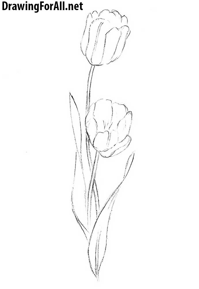 tulip drawing lesson