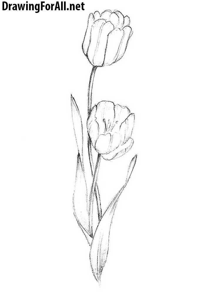 Line Drawing Tulip : How to draw a tulip drawingforall