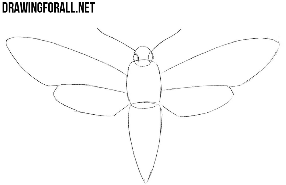 how to draw a Sphingidae step by step