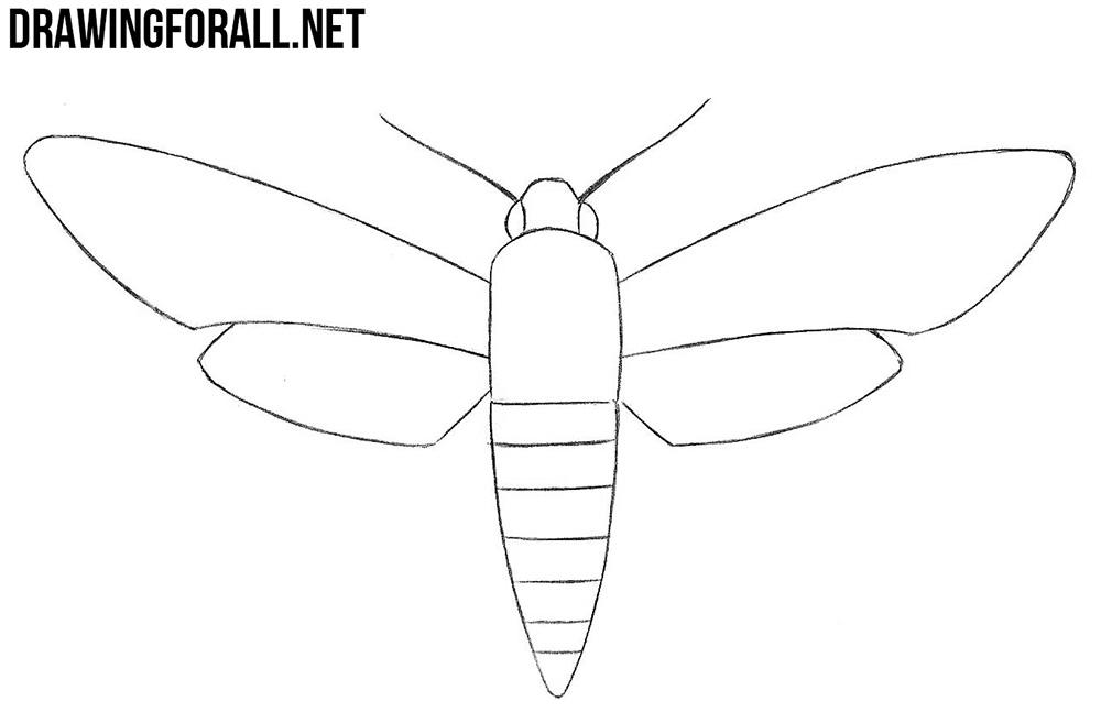 Sphingidae drawing