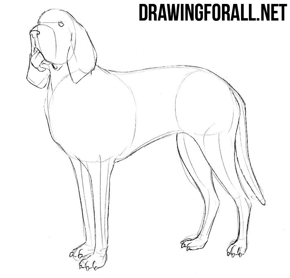 learn to draw a  Bloodhound step by step