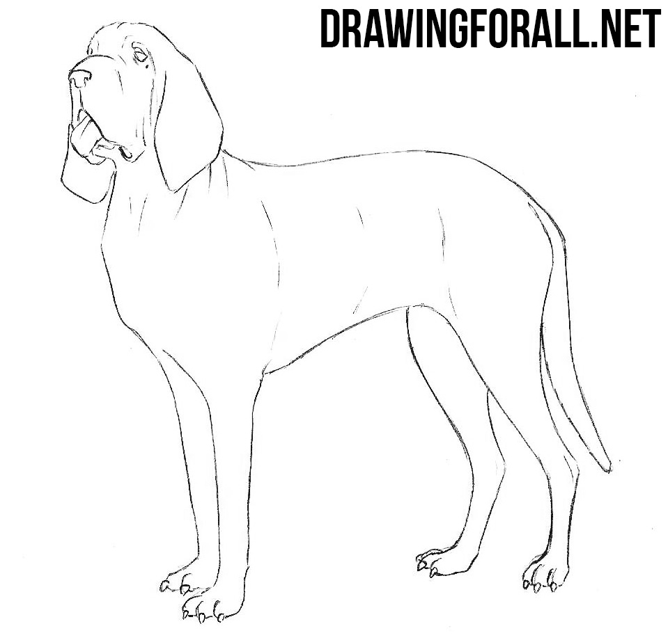 Bloodhound drawing