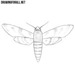 How to Draw a Sphingidae