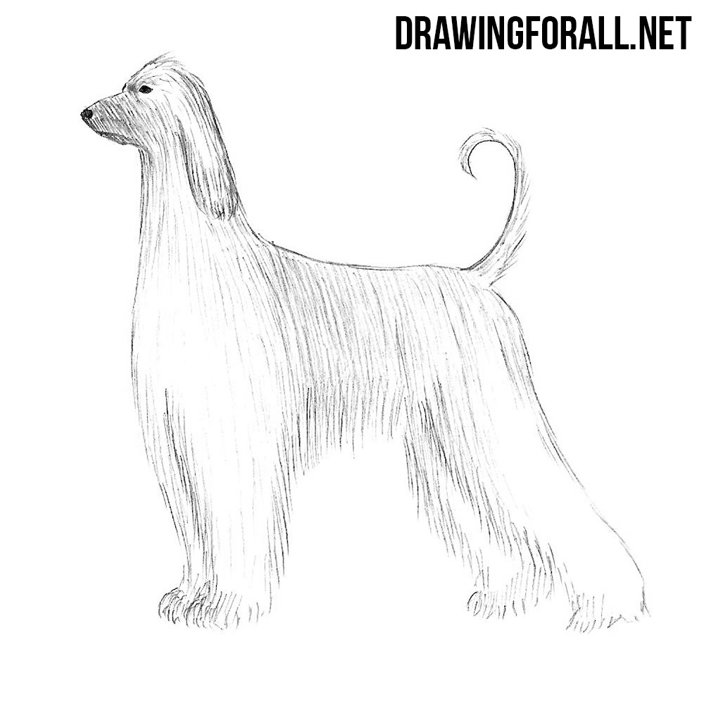 How to Draw an Afghan Hound | DrawingForAll.net