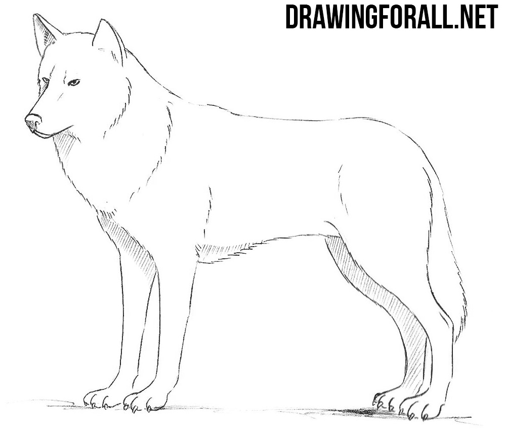 How to Draw a Wolf | DrawingForAll.net
