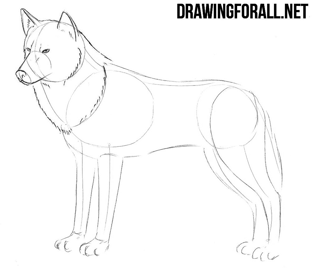 how to draw realistic wolf
