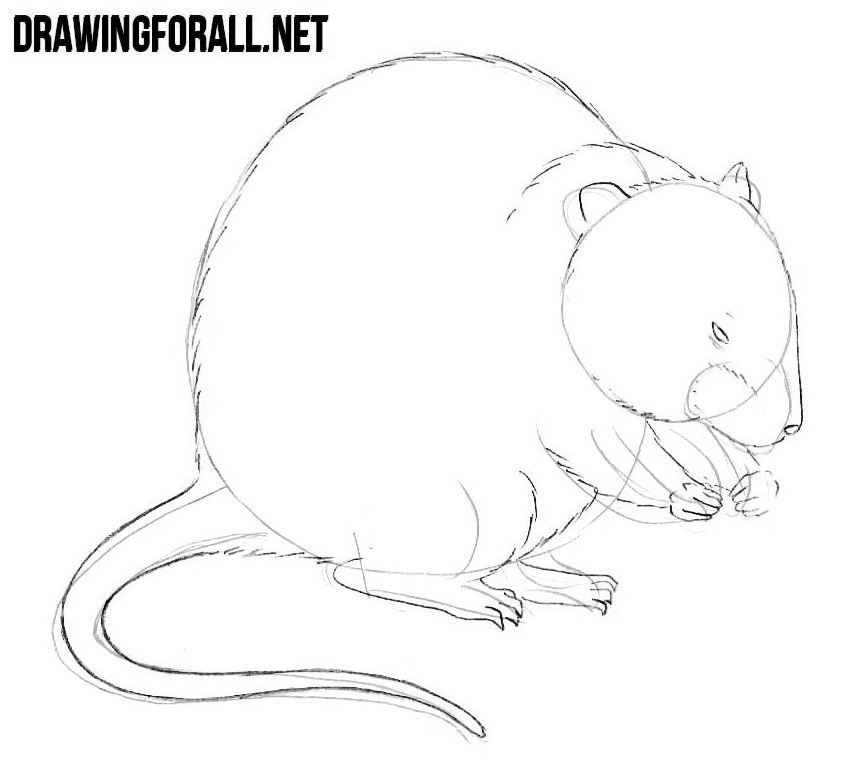 How to Draw a Muskrat step by step with a pencil