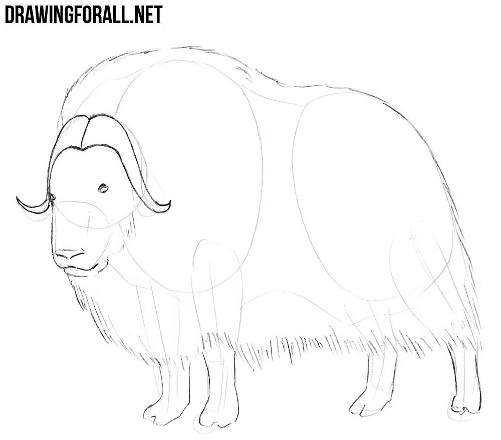 learn how to draw a Muskox