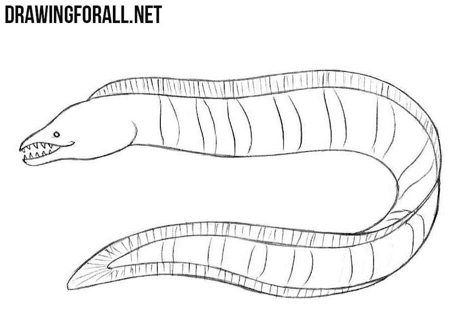 Muraena drawing
