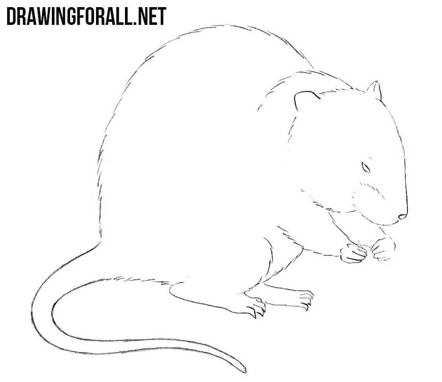 Muskrat drawing