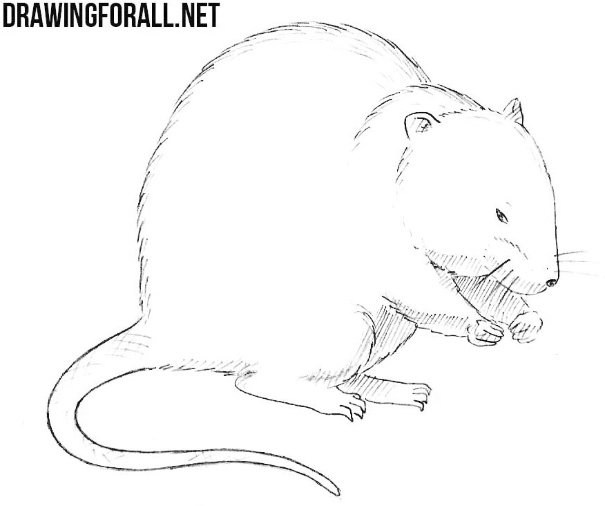 How to Draw a Muskrat