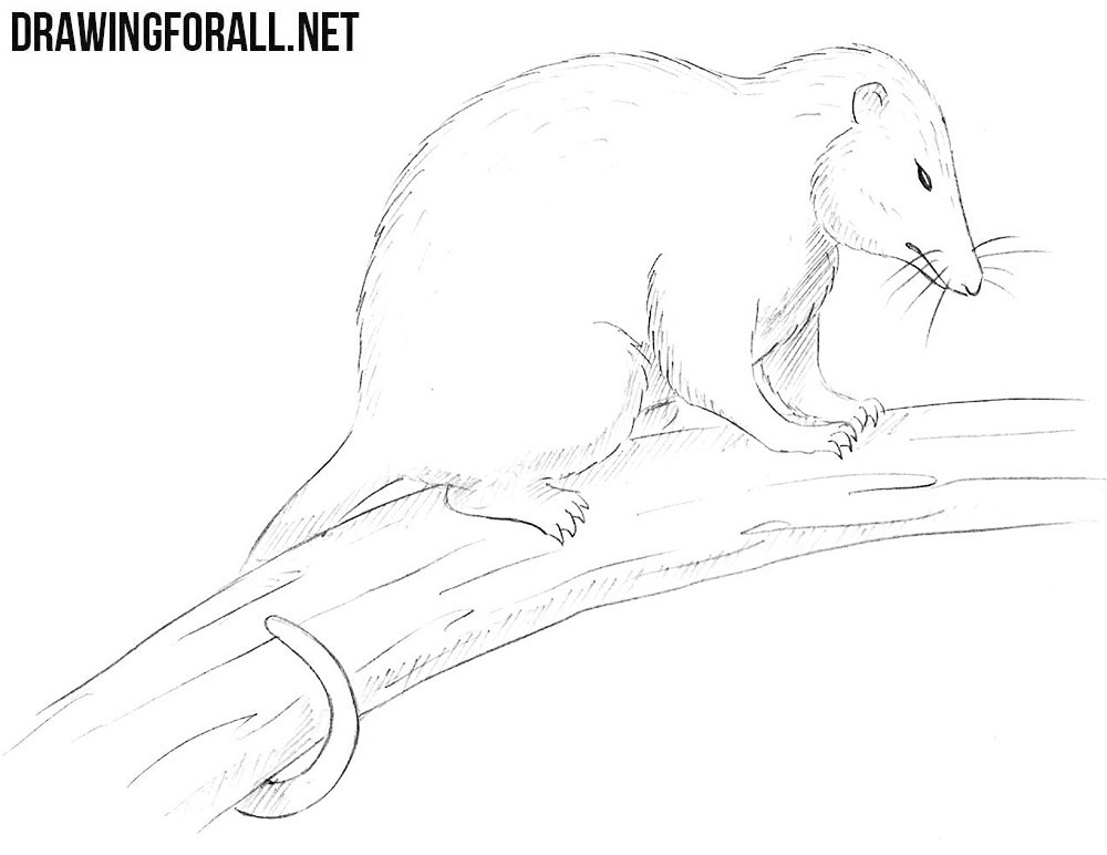 How To Draw An Opossum Drawingforallnet