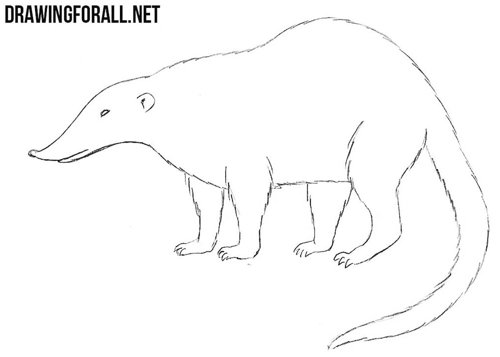 Nasua drawing