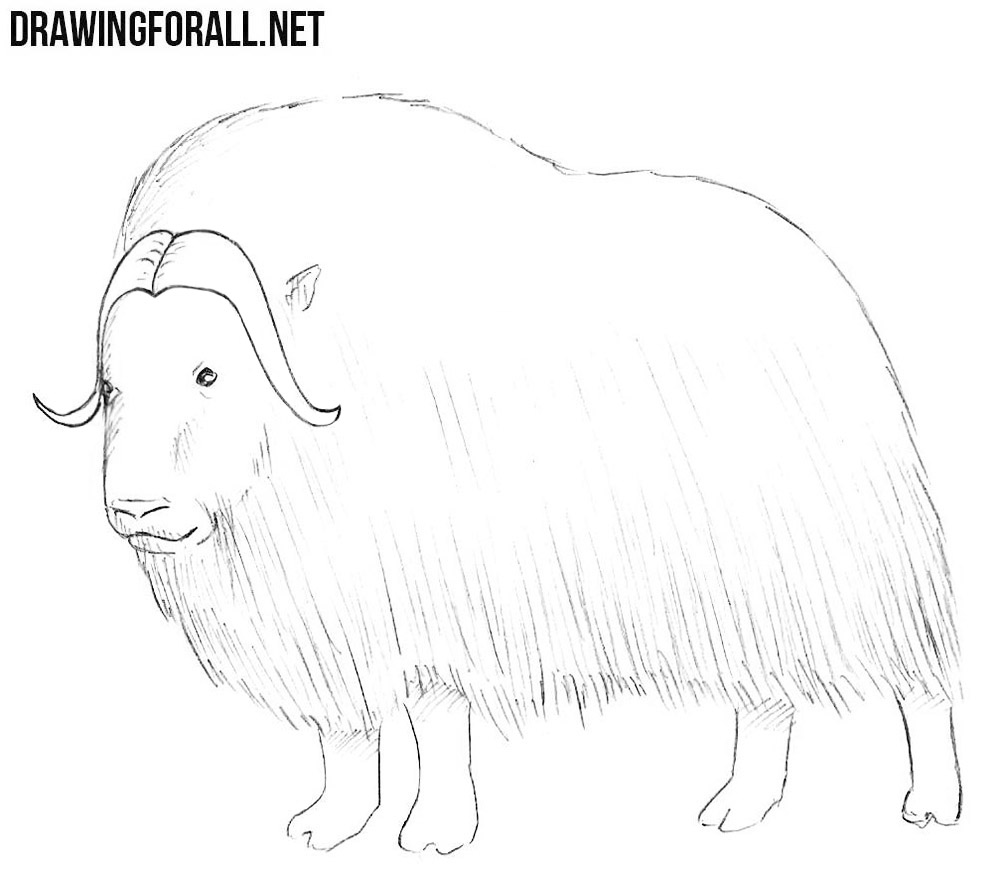 how to draw a Muskox