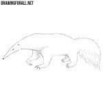 How to Draw an Anteater