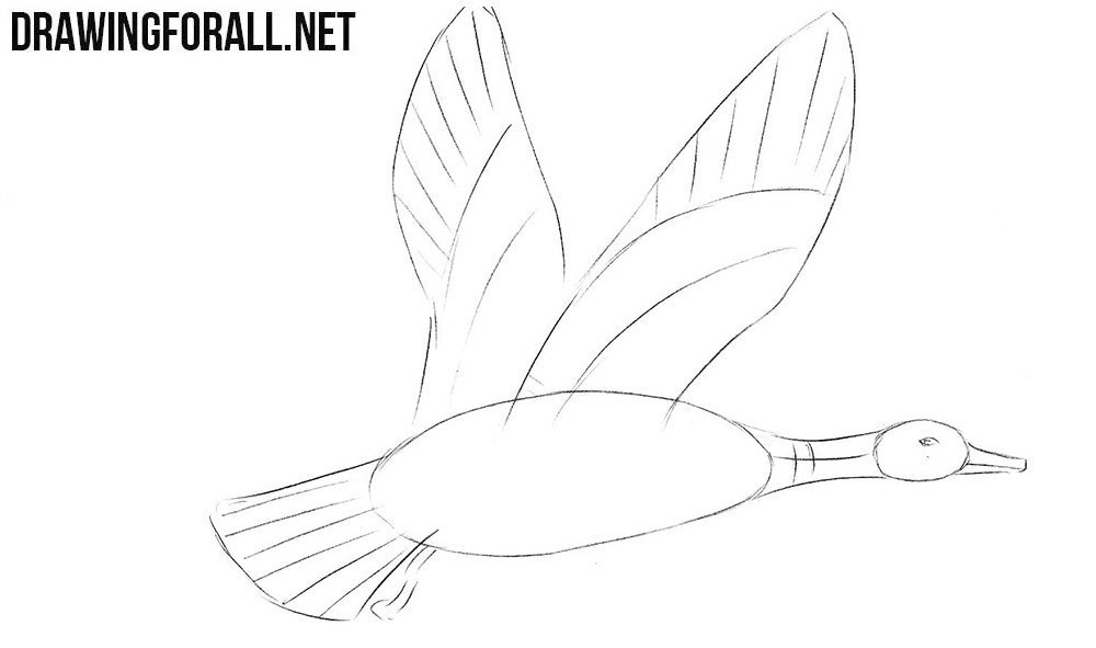 Learn to draw a mallard step by step
