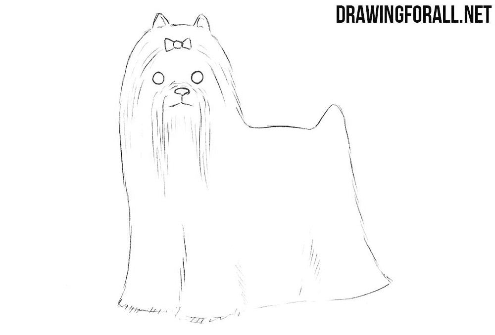 How to draw a yorkshire terrier step by step