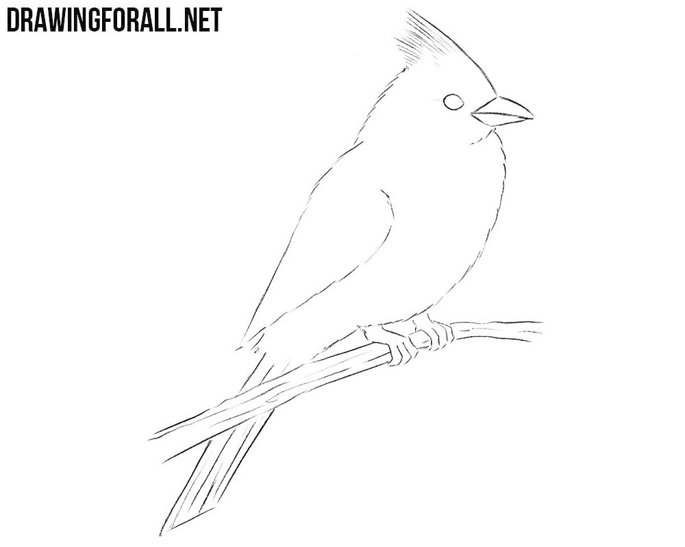How to draw anorthern cardinal bird
