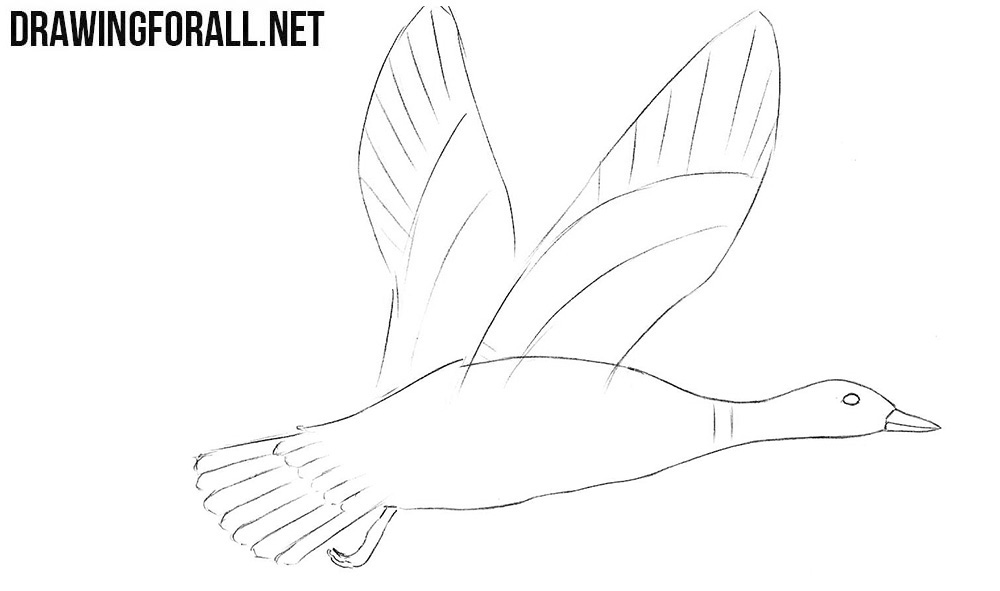 Learn how to draw a mallard easy