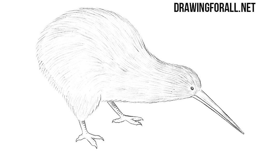 kiwi bird drawing