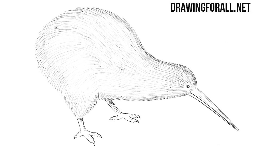 How To Draw A Kiwi Bird | DrawingForAll.net