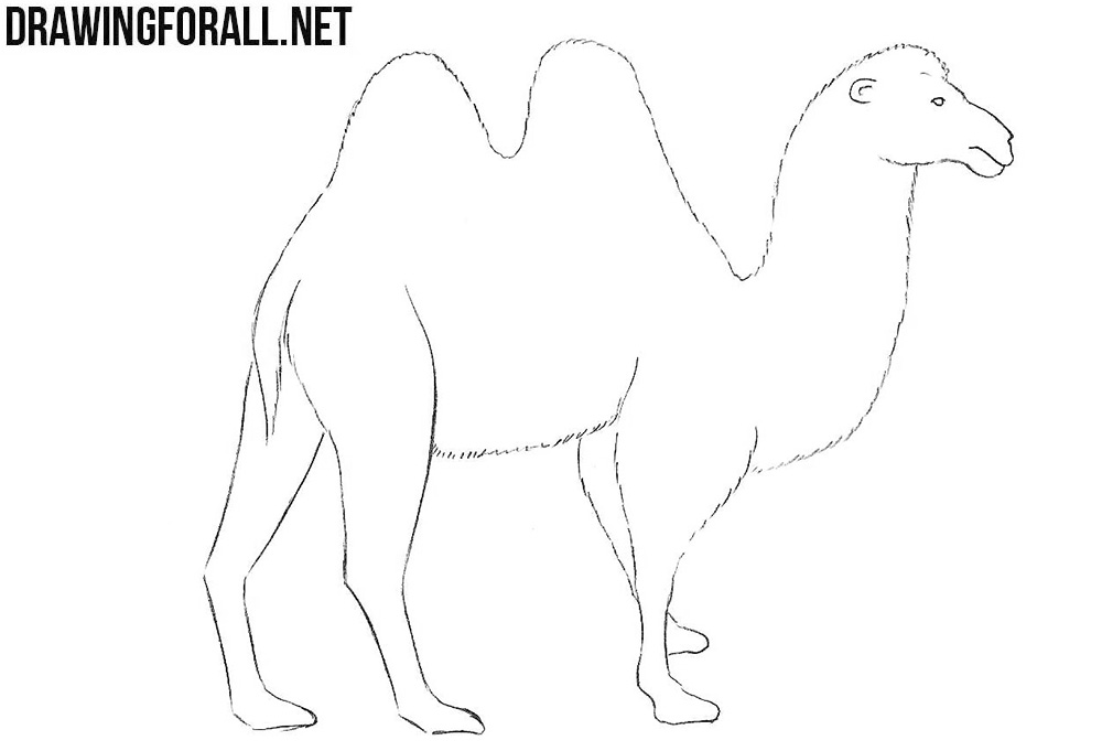 Camel drawing tutorial