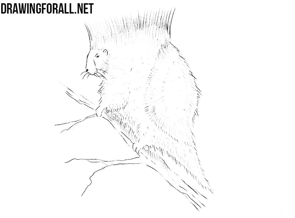 How to draw a north american porcupine
