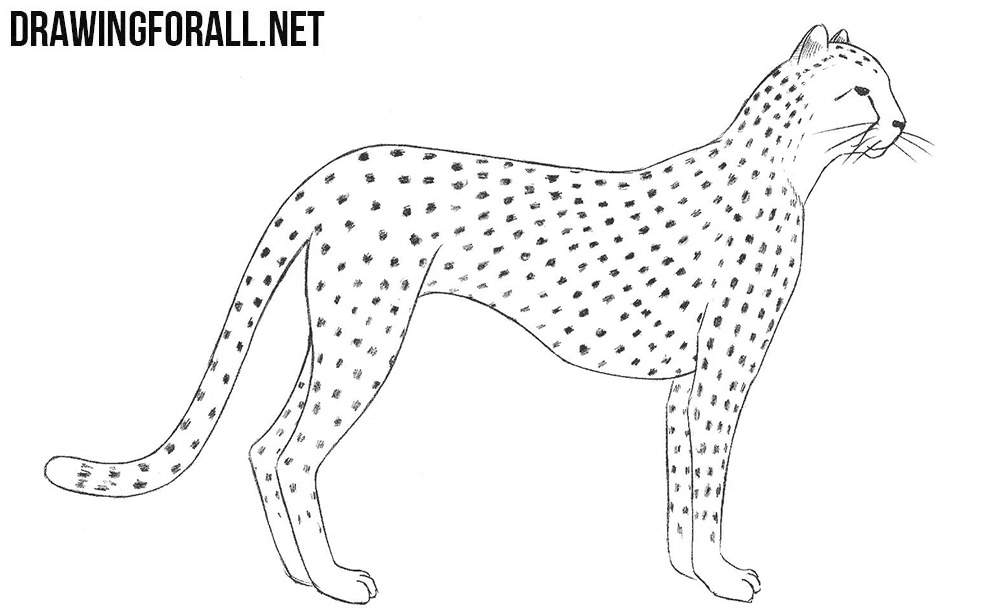 cheetah drawing tutorial