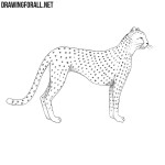 How to Draw a Cheetah
