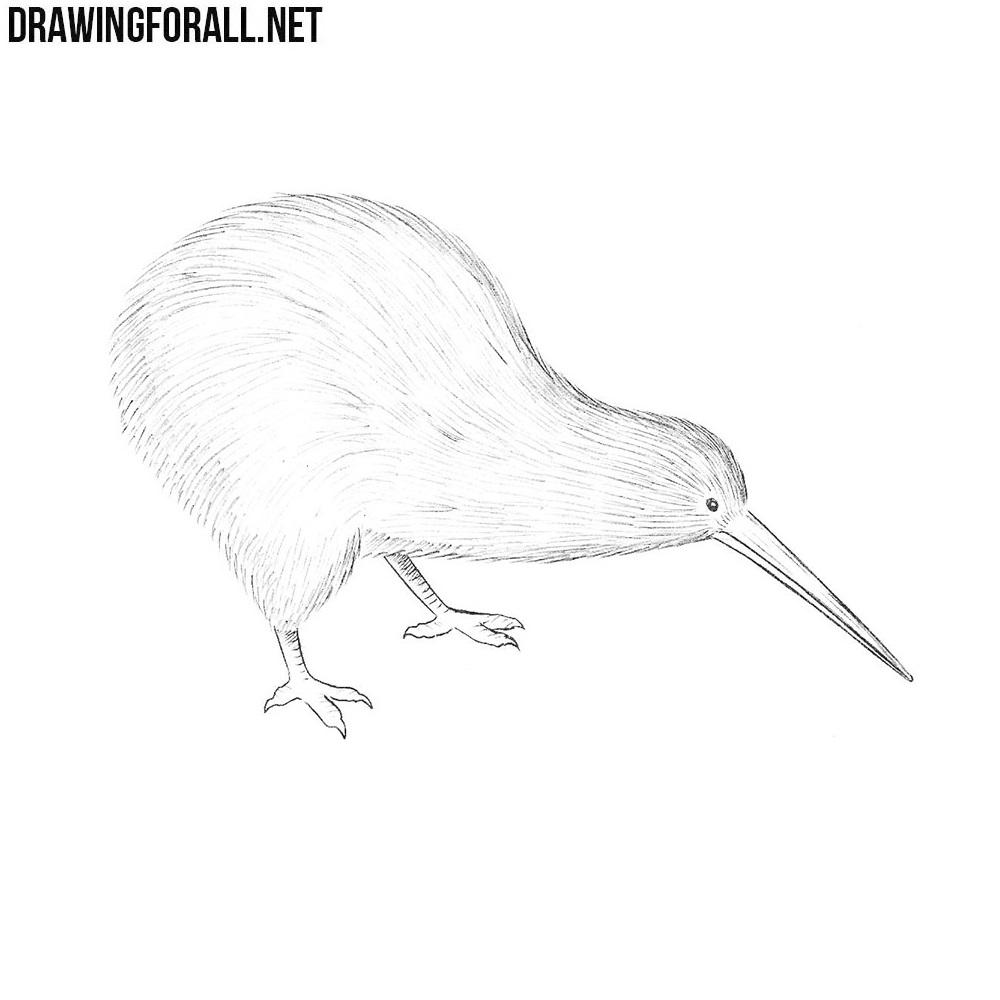 Line Drawing Kiwi : How to draw a kiwi bird drawingforall