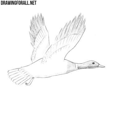 How to Draw a Mallard