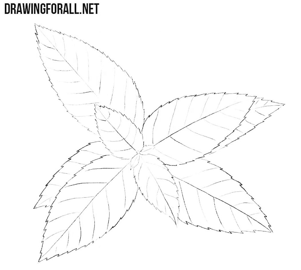 How to draw a peppermint plant