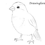 How to Draw a Sparrow Step by Step