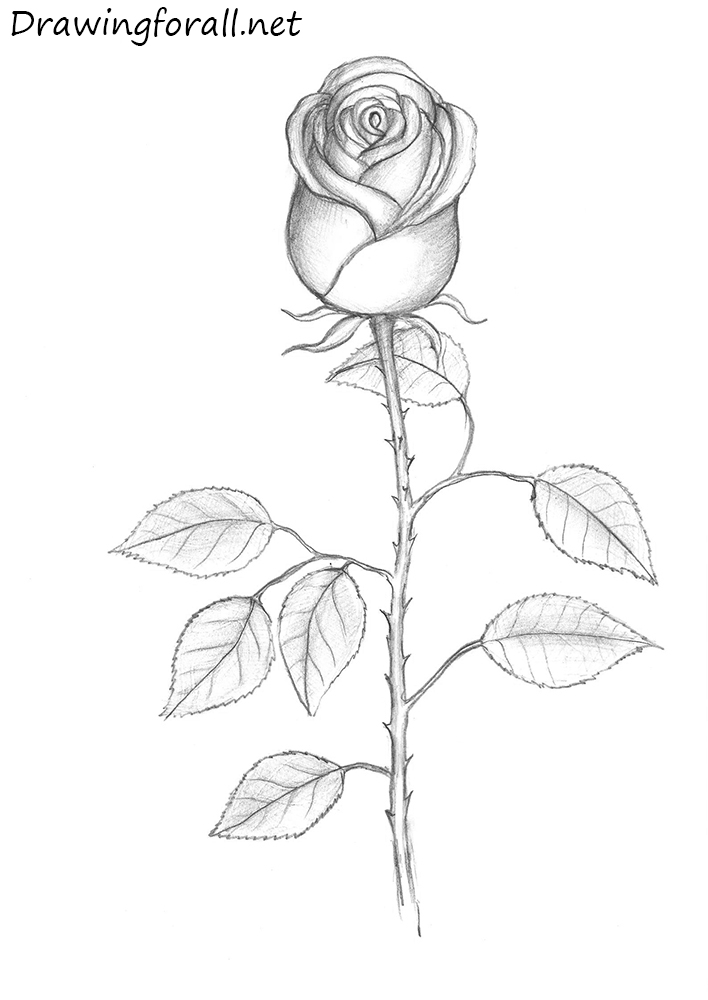 This is a picture of Persnickety Rose And Stem Drawing