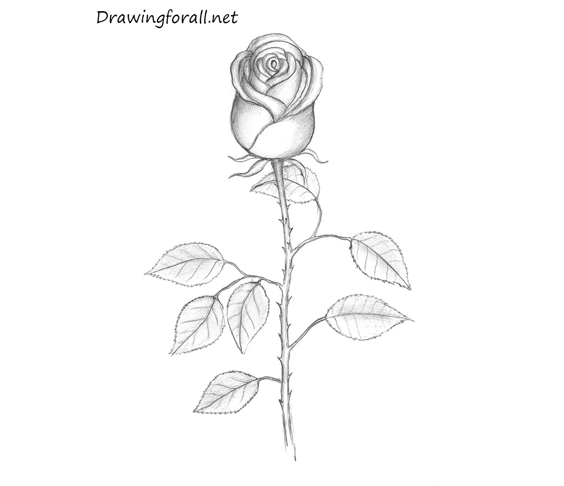 How To Draw A Rose Drawingforall Net