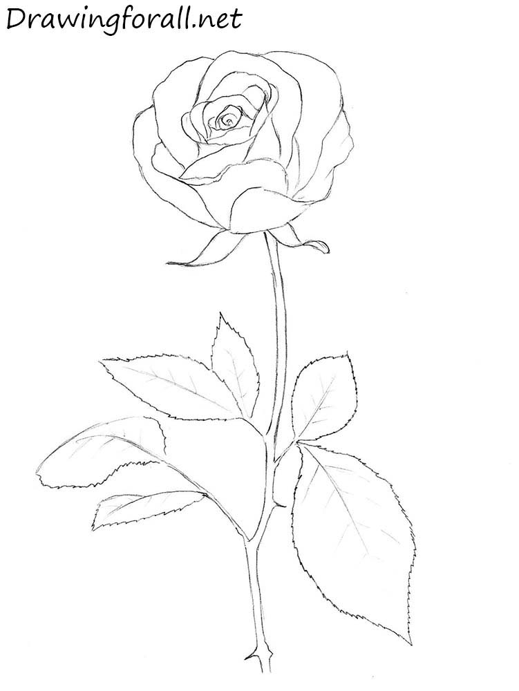 This is an image of Crush Rose And Stem Drawing