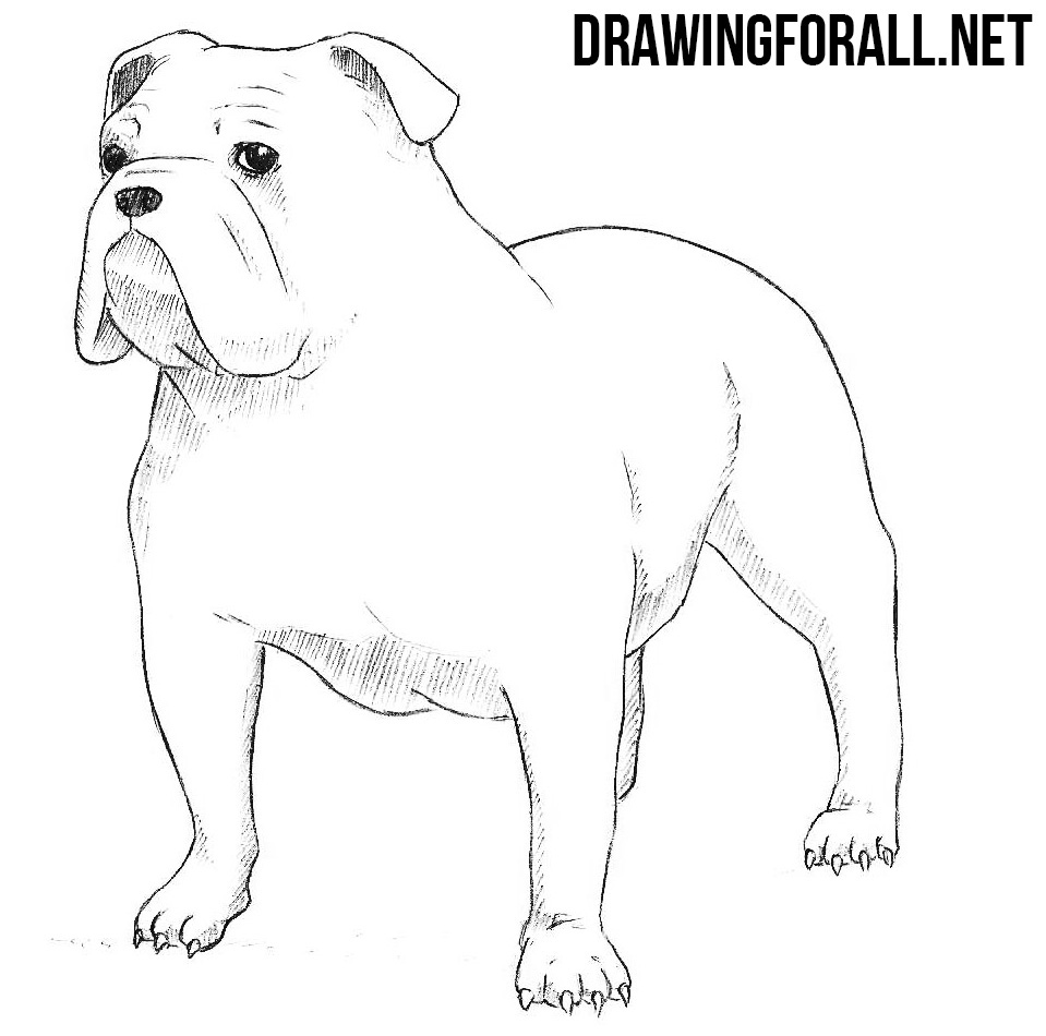 How To Draw A Bulldog Drawingforall Net