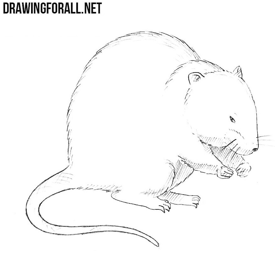 Sketch Images For Drawing: How To Draw A Muskrat