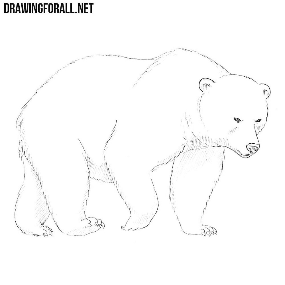 How to draw a bear drawingforall net