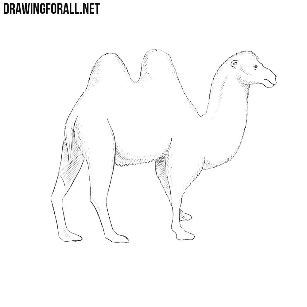 How to Draw a Camel | Drawingforall net