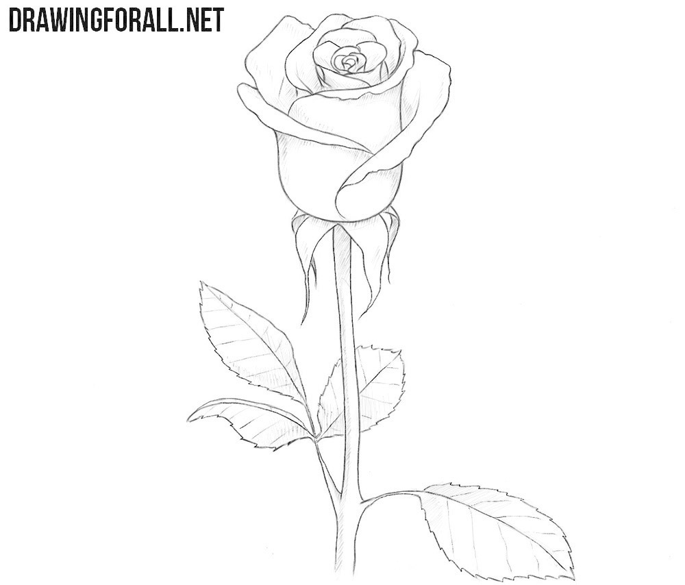 How to Draw a Rose for Beginners   Drawingforall.net