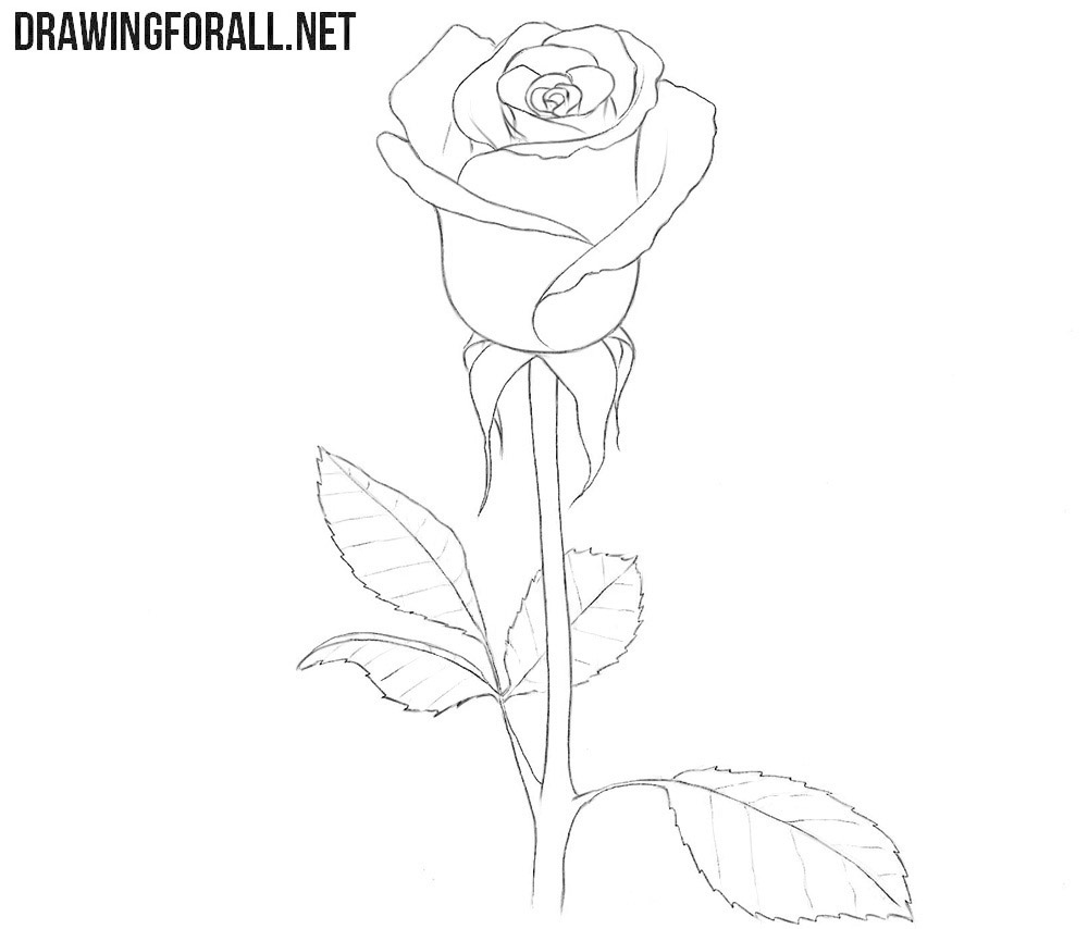 How to Draw a Rose for Beginners | Drawingforall.net