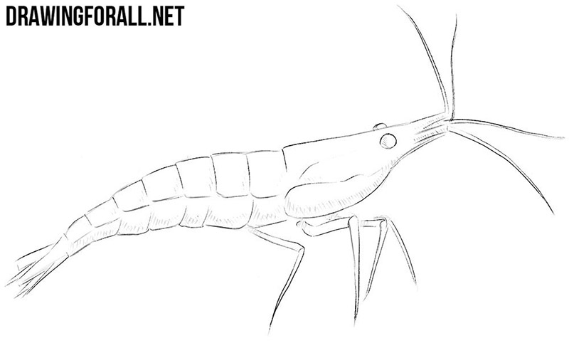 Shrimp drawing