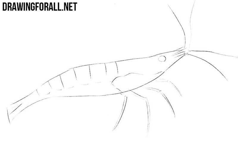 How to draw a shrimp step by step