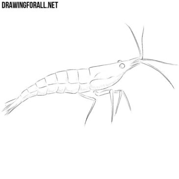 How to Draw a Shrimp