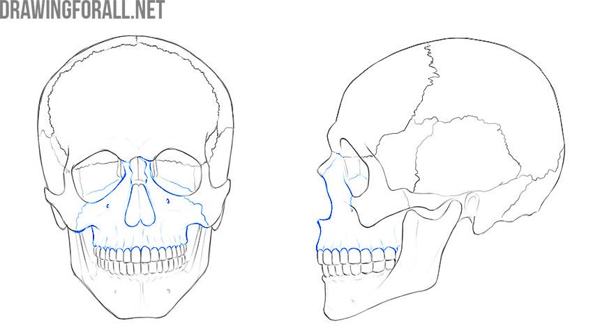 Upper Jaw