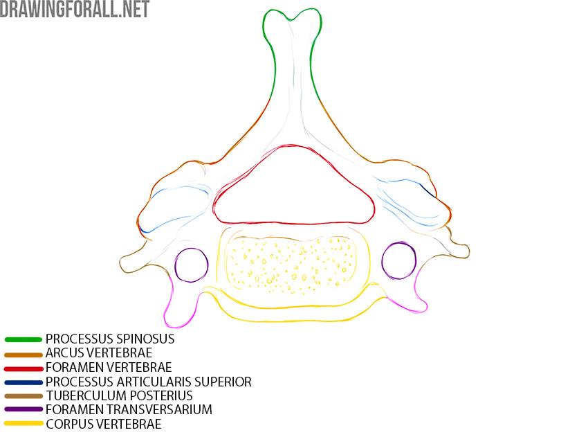 Typical Cervical Vertebrae anatomy