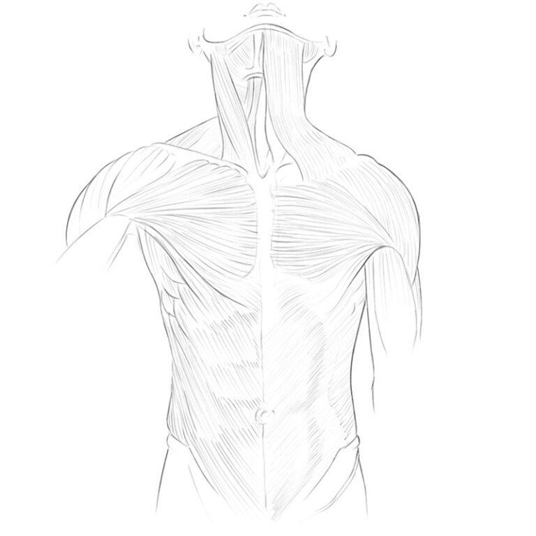 Torso Muscles Anatomy